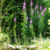 Fireweed (Epilobium angustifolium), packet of 300 seeds