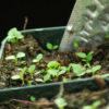 Foxglove, Grecian (Digitalis lanata), packet of 100 seeds, organic