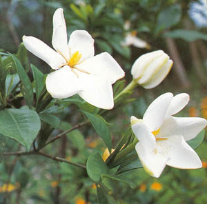 Gardenia, Common (Gardenia jasminoides), packet of 50 seeds