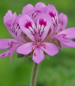 """Geranium, Scented """"Citronella"""", (Pelargonium citronellum) plant, organic"""