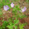 Geranium, Wild (Geranium maculatum), packet of 20 seeds