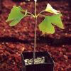 Ginkgo (Ginkgo biloba), packet of 20 seeds [INTL NO]