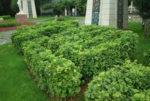 Ginkgo (Ginkgo biloba) potted tree, organic