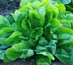 Escarole, Golden Giant (Cichorium endiva), packet of 200 seeds, organic