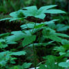 Goldenseal (Hydrastis canadensis), packet of 50 seeds, organic, currently in stock [sorry, no international sales of this seed]