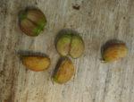 Gotu Kola (Centella asiatica), packet of 30 seeds, organic