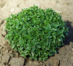 Culinary Basil Seed Set (5 packets): Genovese, Greek, Mrihani, Sweet and Thai, organic