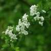 Hawthorn, Wild Form (Crataegus monogyna), packet of 10 seeds, organic