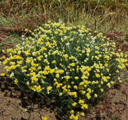 Helichrysum italicum, packet of 100 seeds, organic