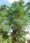 Henna (Lawsonia inermis), packet of 50 seeds