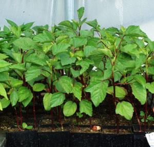 Hibiscus Sabdariffa Packet Of 10 Seeds Organic