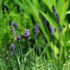 Lavender, Hidcote (Lavandula angustifolia var. hidcote), packet of 50 seeds