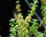 Horehound, White (Marrubium vulgare), packet of 100 seeds, organic