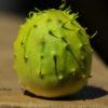 Cucumber, African Horned (Cucumis zambianus), packet of 30 seeds, organic