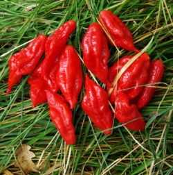 Pepper, Hot Paper Lantern Habanero (Capsicum chinense), packet of 20 seeds, organic
