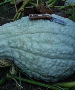 Squash, Blue Hubbard (Cucurbita maxima), packet of 10 Seeds, Organic