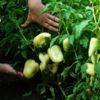 Pepper, Romanian Sweet (Capsicum annuum), packet of 30 seeds, organic