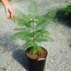 Jacaranda (Jacaranda mimosifolia), packet of 30 seeds