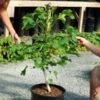 Jatropha, Biodiesel (Jatropha curcas), packet of 5 seeds, organic