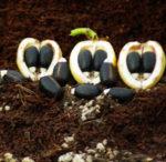 Jatropha, Biodiesel (Jatropha curcas) potted shrub, organic