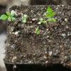Jiao-gu-lan, Japanese (Gynostemma pentaphyllum), packet of 10 seeds, organic