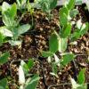 Jojoba (Simmondsia chinensis), packet of 5 seeds
