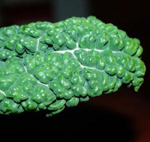 Kale, Lacinato (Brassica oleracea), packet of 200 seeds, organic