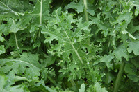 Kale, White Russian (Brassica napus), packet of 200 seeds, organic