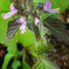 Tulsi, Temperate -- Holy Basil (Ocimum sp.), packet of 50 seeds, organic