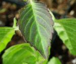 Tulsi, Temperate -- Holy Basil (Ocimum sp.), packet of 50 seeds, organic