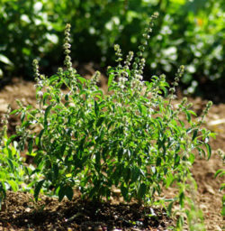 Basil, Kivumbasi Lime (Ocimum canum), packet of 50 seeds, organic
