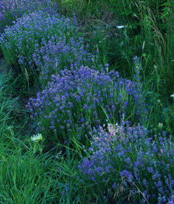 Lavender Set (4 seed packets): Czech, English, French & Munstead, organic