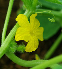 Cucumber, Lemon, packet of 30 seeds, organic