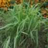 Lemongrass (Cymbopogon flexuosus), packet of 50 seeds