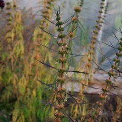 Motherwort, Siberian (Leonurus sibericus), packet of 100 seeds, organic