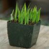 Rhubarb, Glaskins Perpetual (Rheum rhabarbarum), packet of 30 seeds, organic
