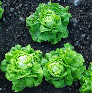 "Lettuce, Butterhead ""Kweik"" (Lactuca sativa), packet of 200 seeds, organic"