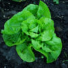 "Lettuce, Butterhead ""Kweik"" (Lactuca sativa), packet of 200 seeds, organic"