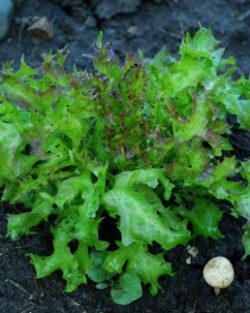 Lettuce, Fine Cut Oak Leaf (Lactuca sativa), packet of 200 seeds, organic