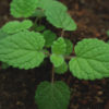 Lime Balm (Melissa officinalis ssp. altissima), packet of 30 seeds, organic