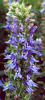 Lobelia, Great Blue (Lobelia siphilitica), packet of 100 seeds, organic