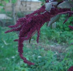 Amaranth, Love Lies Bleeding (Amaranthus caudatus), packet of 100 seeds