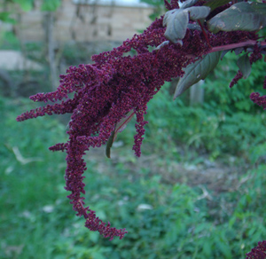 Amaranth, Love Lies Bleeding (Amaranthus caudatus), packet of 100 seeds