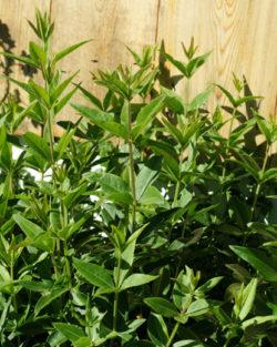 Madder (Rubia tinctorum), packet of 20 seeds, organic