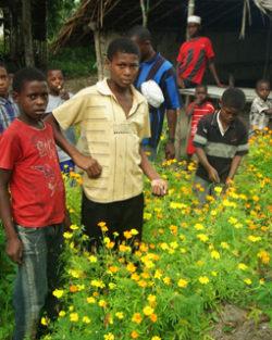 "Marigold, African ""Tururu"" (Tagetes erecta), packet of 50 seeds, organic"