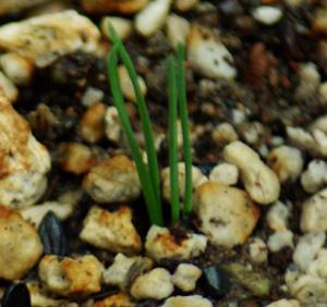 Ma-huang (Ephedra sinica), packet of 20 seeds, Organic [AUS/NZ no]
