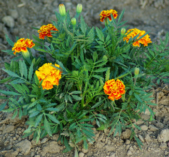 Marigold, French (Tagetes Patula), packet of 50 seeds ... Marigold Plant With Roots