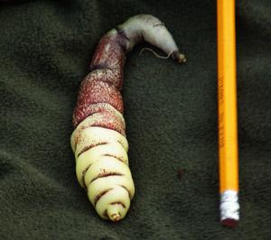 Mashua (Tropaeolum tuberosum) potted plant, organic