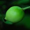 Mayapple, American Live Root (Podophyllum peltatum)