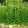 Meadowsweet (Spiraea ulmaria), packet of 100 seeds, organic
